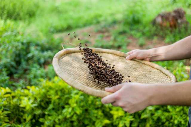 コーヒー農園で作業する人