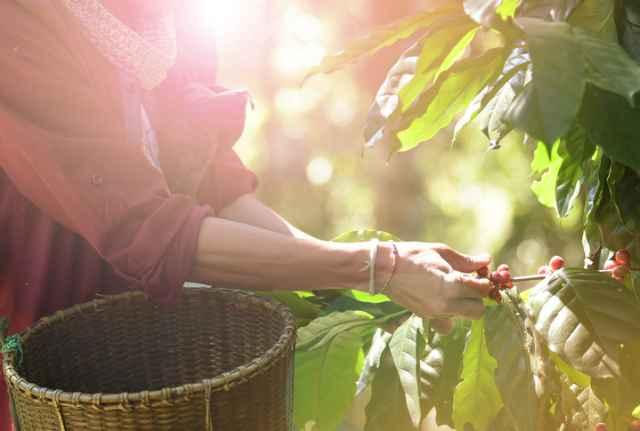 コーヒー豆を収穫する人