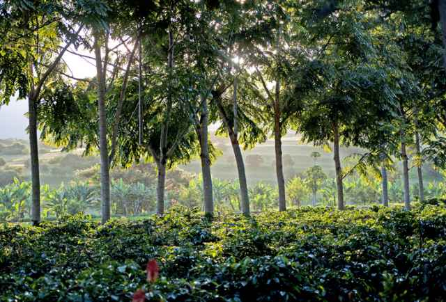 タンザニアのコーヒー栽培地