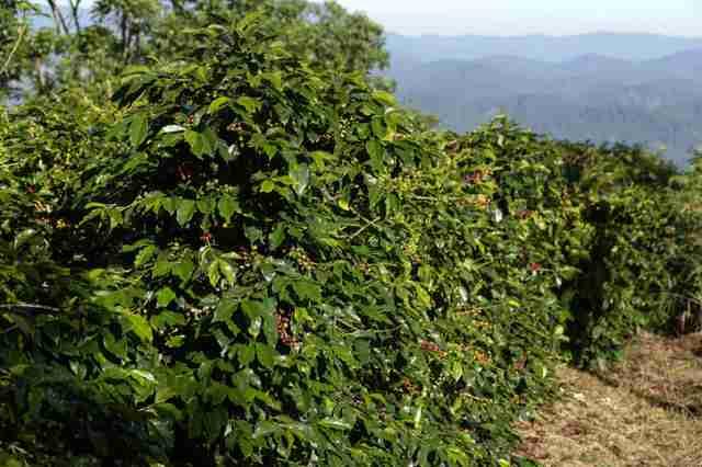 ベトナムのコーヒー農園