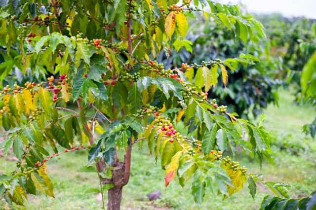 コナ地区のコーヒー農園
