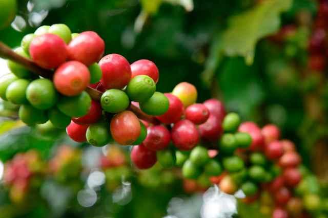 アラビカ種のコーヒーノキの実