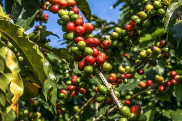 タンザニアのコーヒーノキ