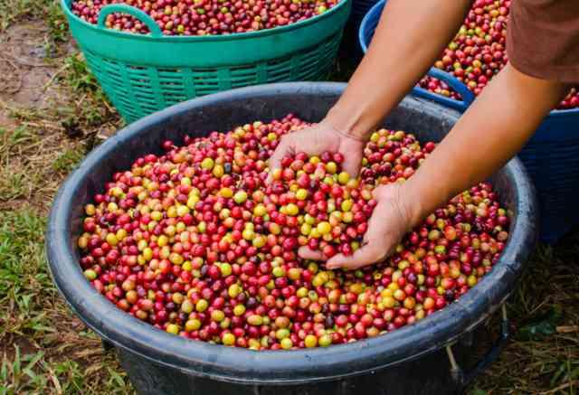 収穫したコーヒーチェリー
