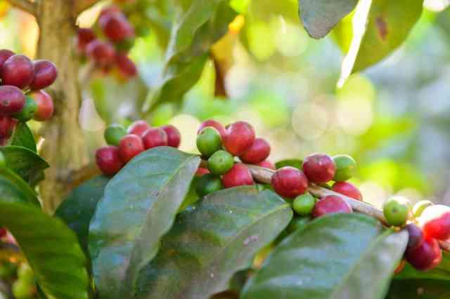 グアテマラで栽培されるコーヒー