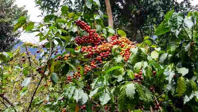 グアテマラのコーヒー農園